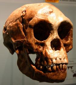 Человек флоресский череп