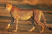 265px-Cheetah Kruger