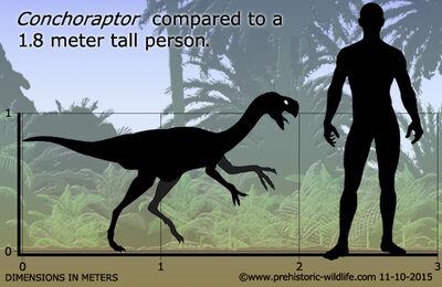 Conchoraptor-size