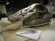 Apatosaurus skull 03