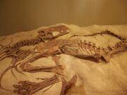 Daspletosaurus fossils