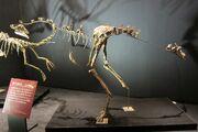 Garudimimus fossil