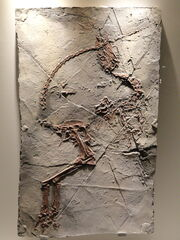 Sinosauropteryx fossils 05
