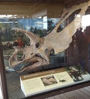 Bravoceratops web