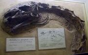 Plateosaurus Skull 02