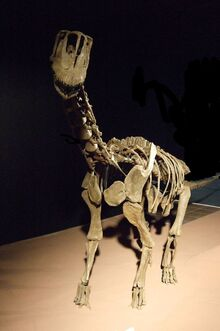 800px-Europasaurus holgeri Skelett