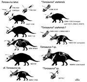 Torosaurus specimen