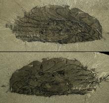 Ксаниоаскус голотип