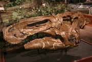 Edmontosaurus skull 05