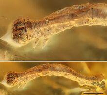 Eogeometer vadens-novataxa 2019-Fischer Michalski et Hausmann (3)