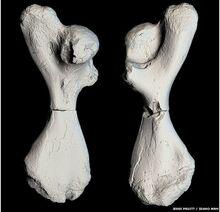 Atlantochelys mortoni 3