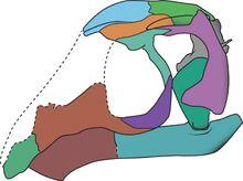 Avicranium skull drawing
