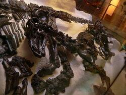 Iguanodon fossil 03