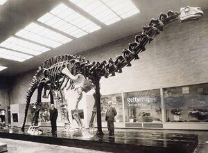 Brontosaurus The Peabody Museum of Yale University.