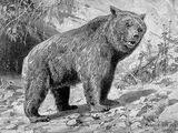 Этрусский медведь