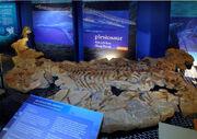Kaiwhekea fossil