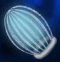 Ctenorhabdotus capulus
