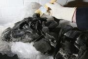 Scelidosaurus skull