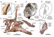 Tsintaosaurus skull