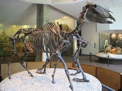 Западная лошадь скелет