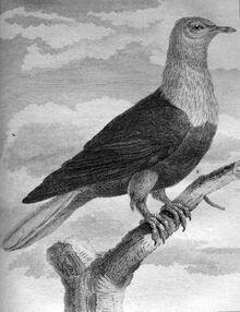 Маврикийский голубь