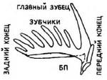 Стержневидный конодонт