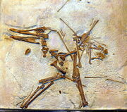 0Cycnorhamphus suevicus