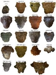 Ankilosaurud skull