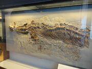 Cymbospondylus buchseri Paleontology Museum of Zurich