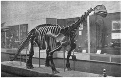 """YPM 1910, a mounted skeleton that is the holotype of Camarasaurus (= """"Morosaurus"""") lentus, in the dinosaur hall of the Yale Peabody Museum"""