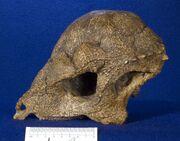 Prenocephale skull
