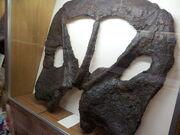 Torosaurus fossil