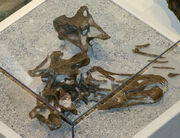 Diplodocus skull 01