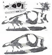Tawa skull