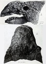 Ankylosaurus skull AMNH 5214