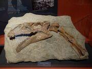 Plateosaurus skull 01