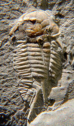 Triarthrus spinosus