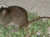 Рифовая мозаичнохвостая крыса