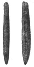 Парахиболитес