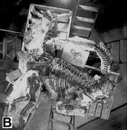The most complete specimen is a nearly complete juvenile Camarasaurus (CM 11338)