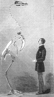Skeleton of a gastornis eduardsii (Lemoine's illustration 1881)