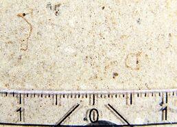 Гиппокампус словеникус окаменелость 2