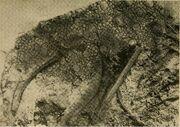 Chasmosaurus skin impression