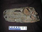 Herrerasaurus skull
