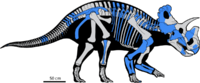 Wendiceratops skeletal reconstruction