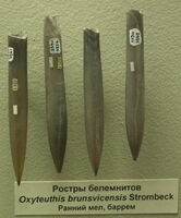Ростры Oxyteuthis brunsvicensis