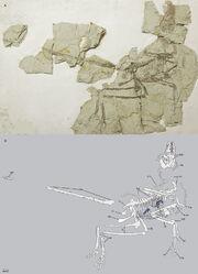 Microraptor gui IVPP V17972