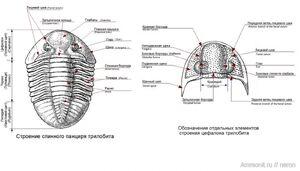 Строение трилобита и его цефалона