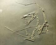 1Dorygnathus banthensis (cast) at Göteborgs Naturhistoriska Museum 9000