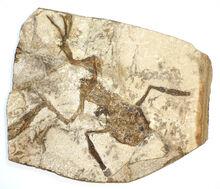 Palaeobatrachus gigas-0